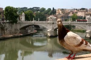 piccione02